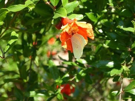 Grenattitude - fleur de grenade