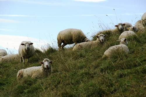 Aigoual moutons
