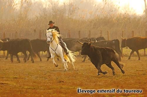 Tradition du tri du taureau en milieu sauvage avec les chevaux ©