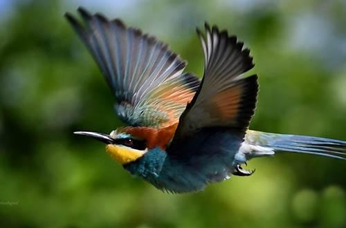 Guepier d'Europe-European Bee-eater ©